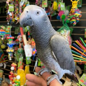 African Grey Timneh Parrot for sale