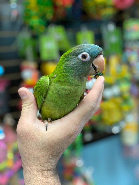Blue Crown Conures for sale near me
