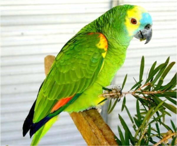 buy Blue Front Amazon parrots USA