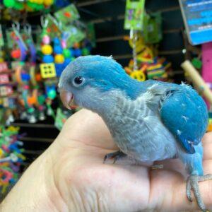 blue quaker parrot near me