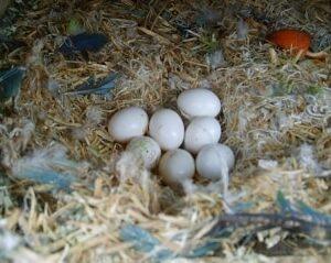 Parrot eggs for sale