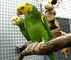 Double yellow head amazon best price