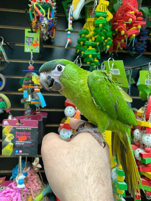 Hahns macaw for sale