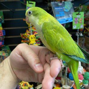 Green Quaker Parrot for sale near me