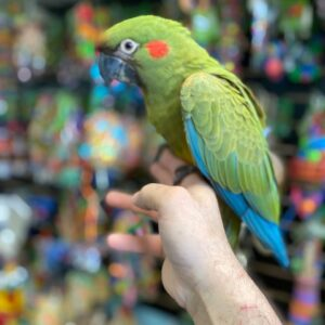 Red Fronted macaws for sale