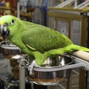 Yellow-Naped Amazon Parrot fro sale