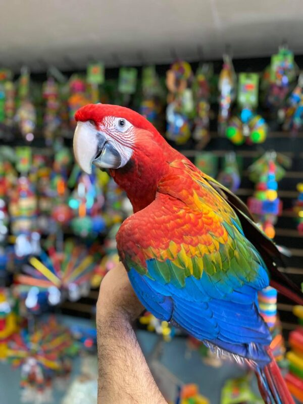 Hybrid Macaw for sale