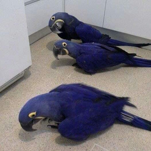 Buy Hyacinth Macaws Online