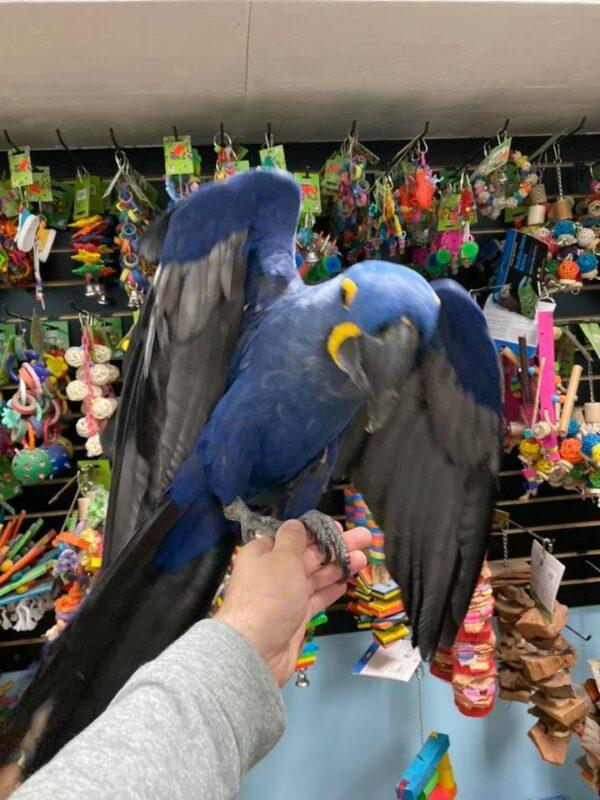 Hyacinth Macaw For Sale
