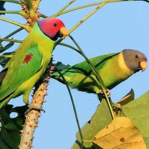 Plum Head Parakeets for Sale