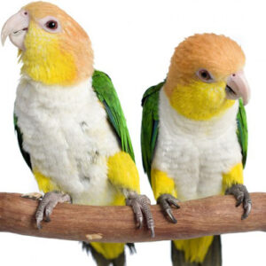 White Bellied Caique For Sale