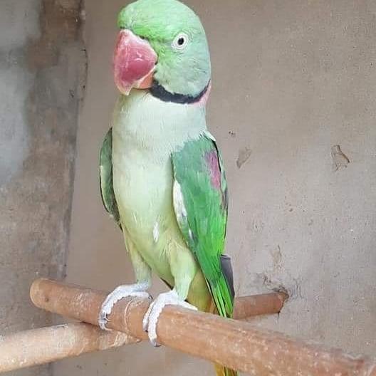 Ringneck Indian Parakeets for Sale