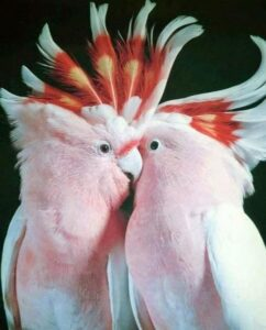 Major Mitchell Cockatoo For Sale online